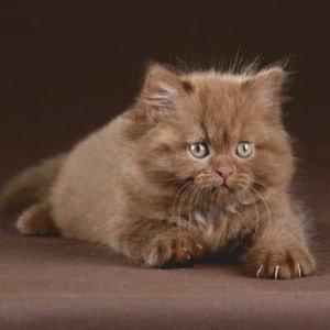 Купон мебельный Cat 81
